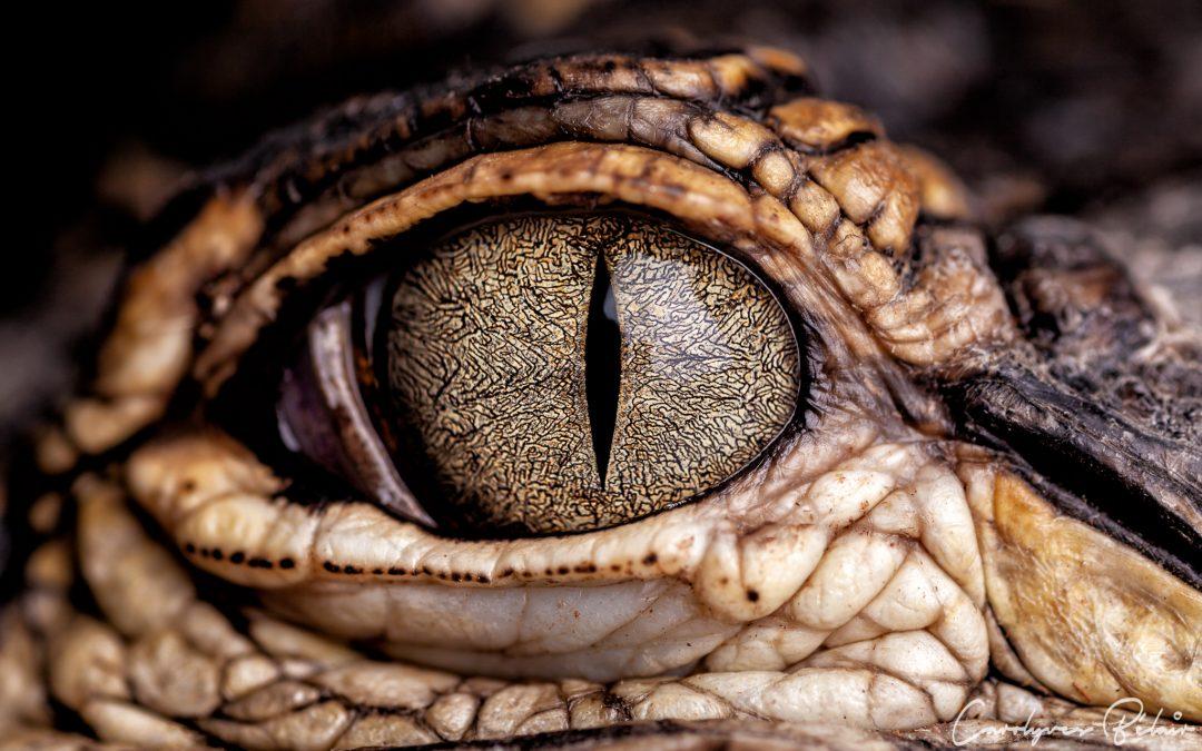 Regard d'Alligator