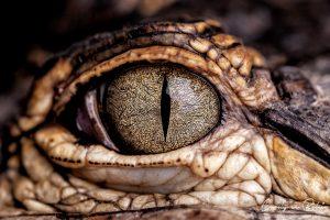 Regard d'Alligator par Carolyves Bélair